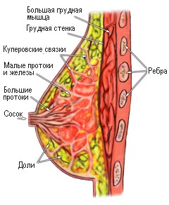 грудь в разрезе